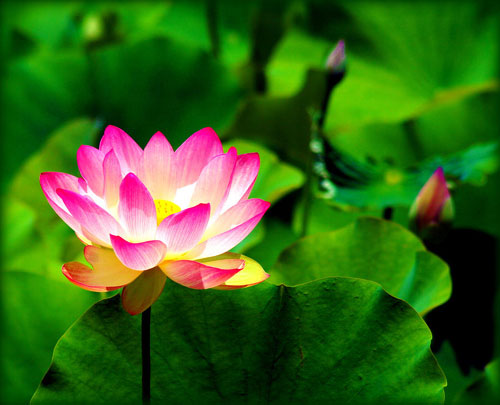 Lotus Flower in Art